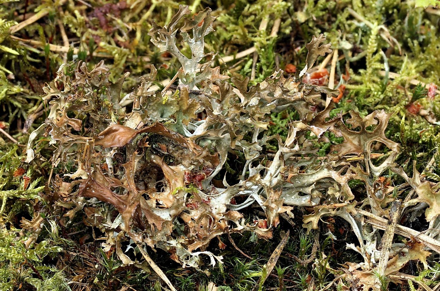 Isländisch Moos (Cetraria islandica) auf dem Rückzug