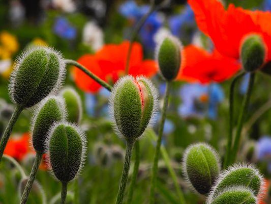 Island | Akureyri | Botanischer Garten