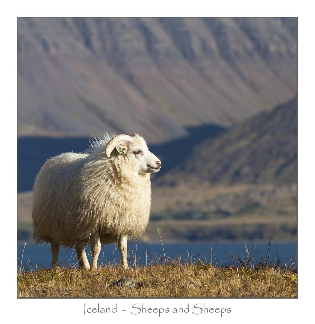 Island - Das Land der Schafe
