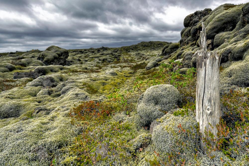 Island moos foto bild pflanzen pilze flechten for Moos bilder pflanzen