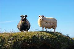 Island-Schafe