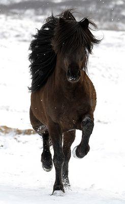Islandhengst im Schnee