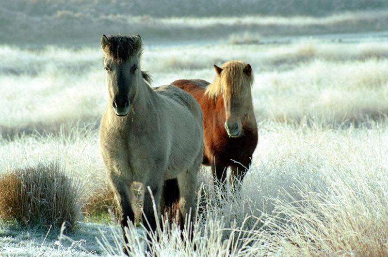 Islandische pferde auf der Kampina