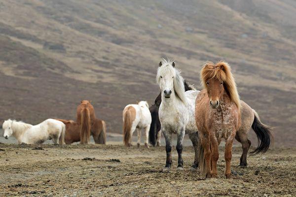 Islandpferde Fotos  Bilder auf fotocommunity