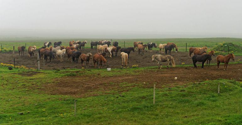 Islandpferde im Regen