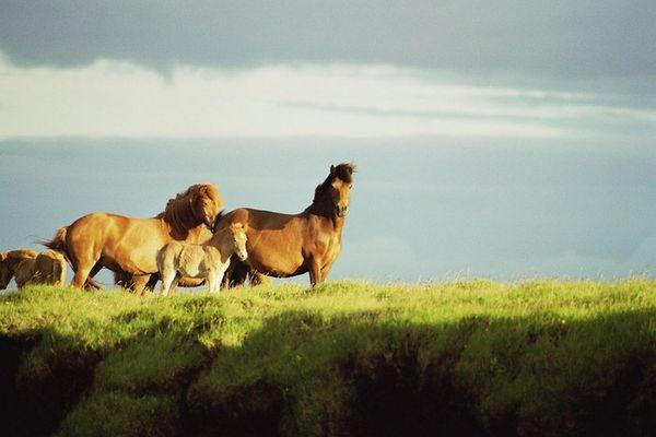 IslandpferdeStuten mit Fohlen