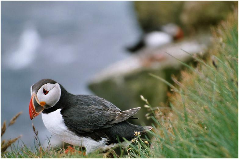 islands nationalvögel  ... oder die etwas andere literaturecke ;-)