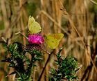 isoca de la alfalfa