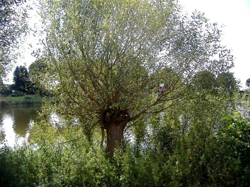 Isolde die Holde, die alte Weide