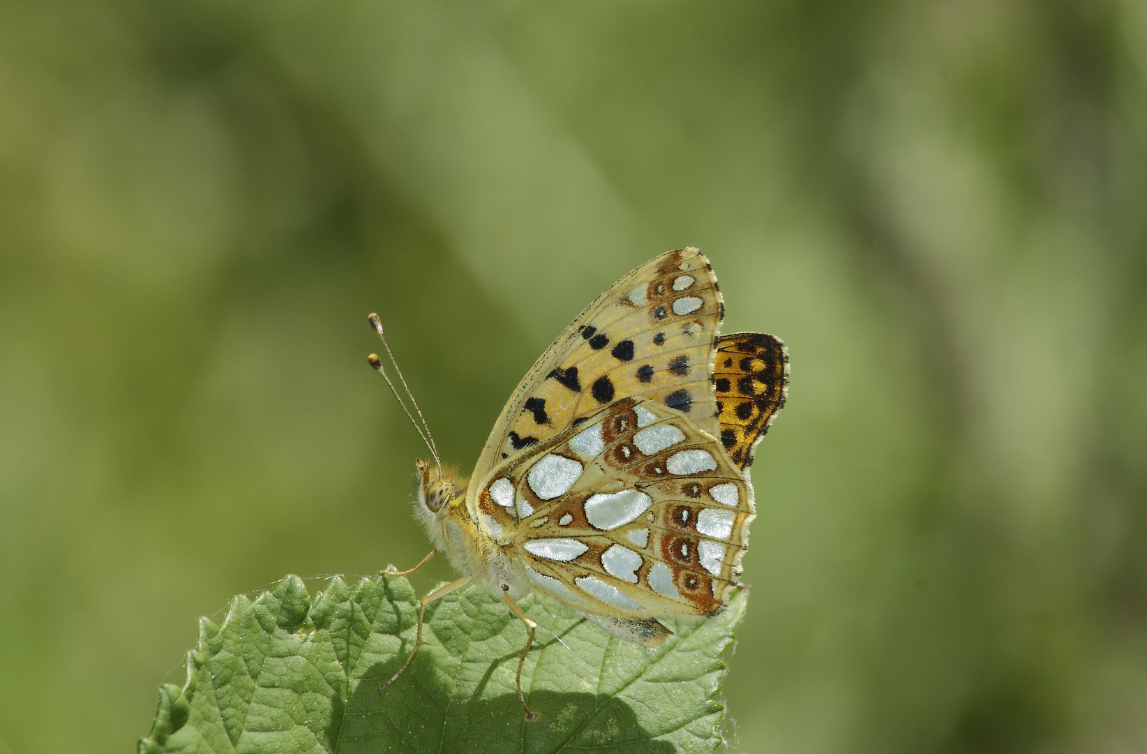 Issoria lathonia ( petit nacré )