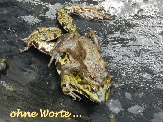 Ist das ein SEEFROSCH, der von einer Erdkröte belästigt wird?