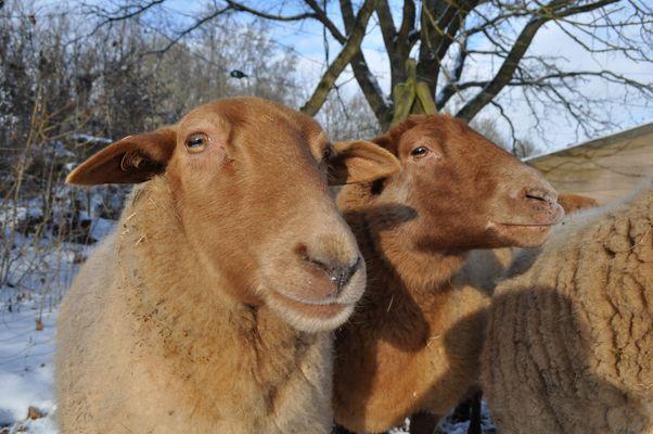ist das Schaf am Grinsen?