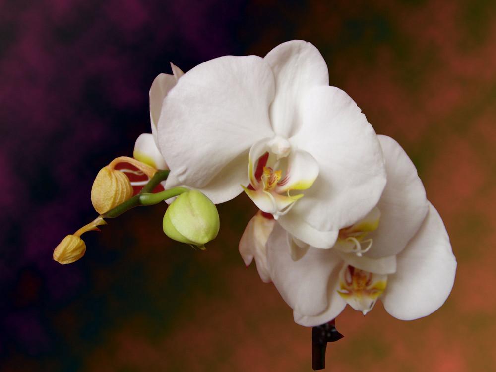 Ist es draußen nicht mehr schön, zeigt die Orchidee wie im Haus auch Sonnenschein sein kann
