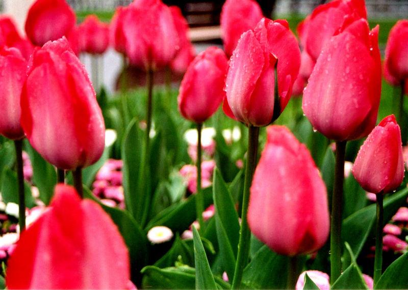 Istanbul - Tulpen