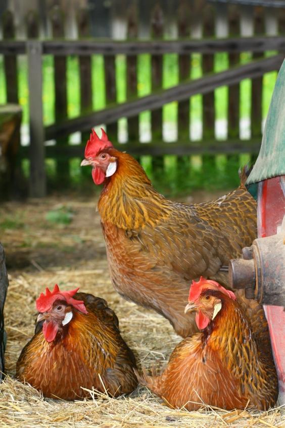 Italienerhühner machen Siesta