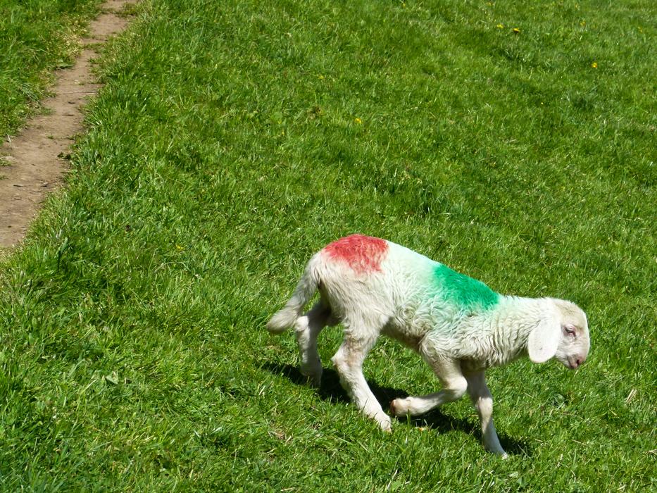 Italienisches Schaf auf der Weide in Südtirol