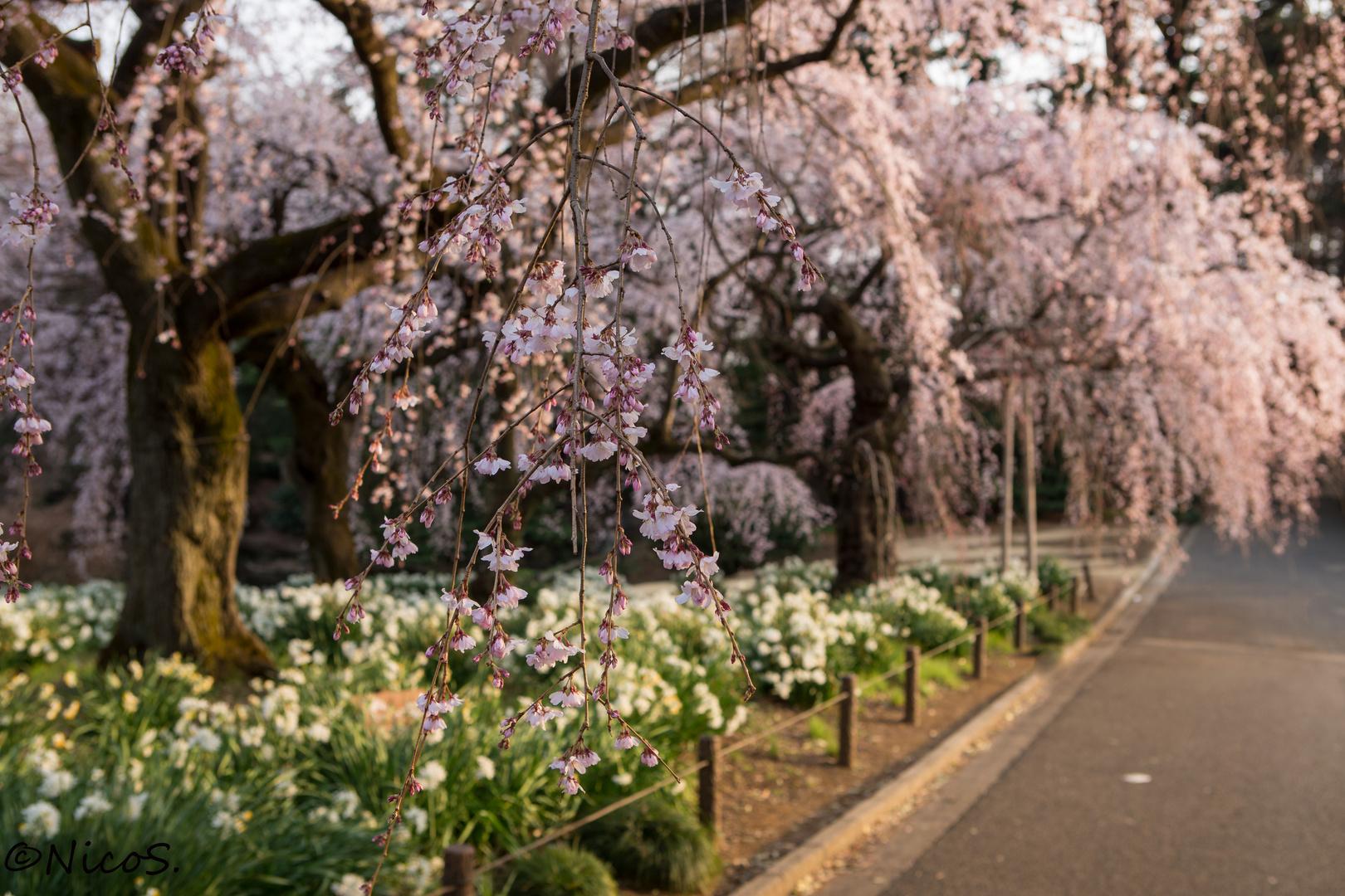 It's Spring in Japan