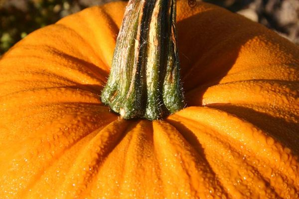 It's the great pumpkin