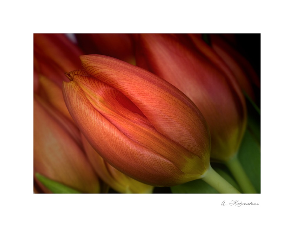 It's tulip-season....