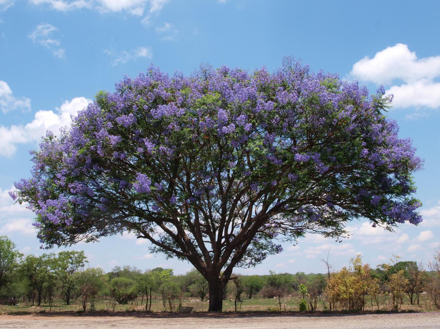 Jacaranda - Baum in Zimbabwe