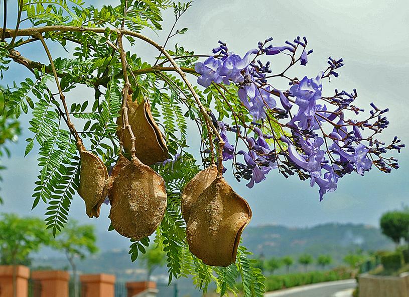Jacaranda mit Samen und Blüte