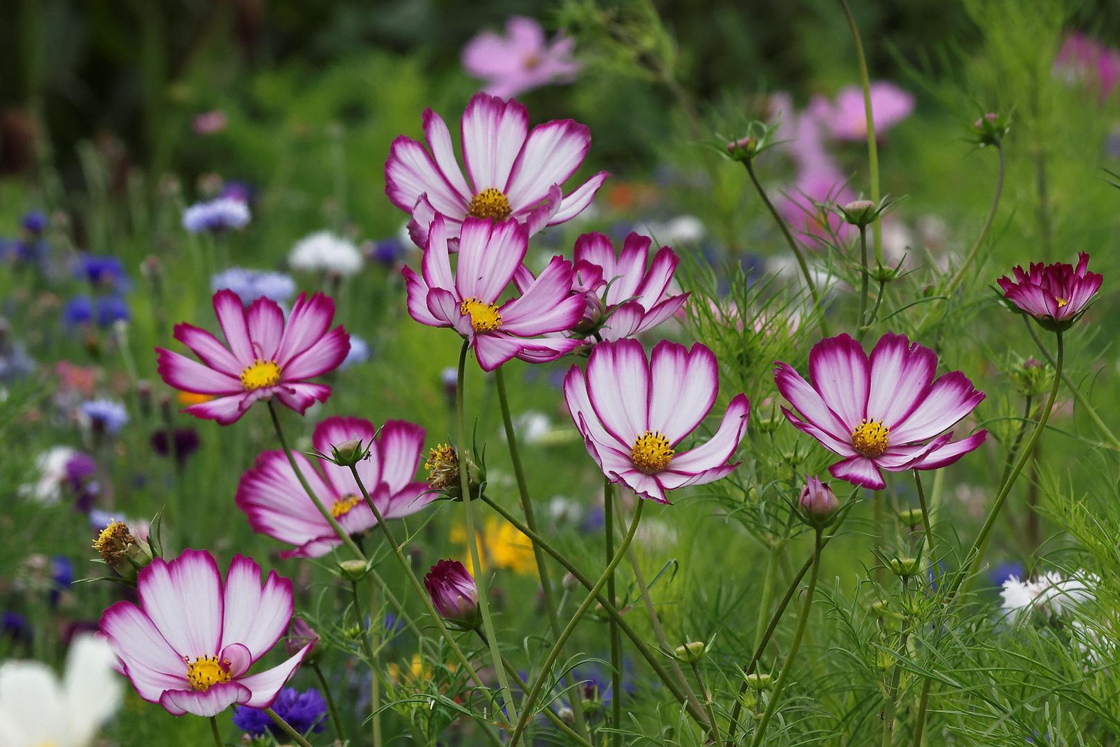 Jach re fleurie photo et image fleurs nature images - Fleur de jachere ...