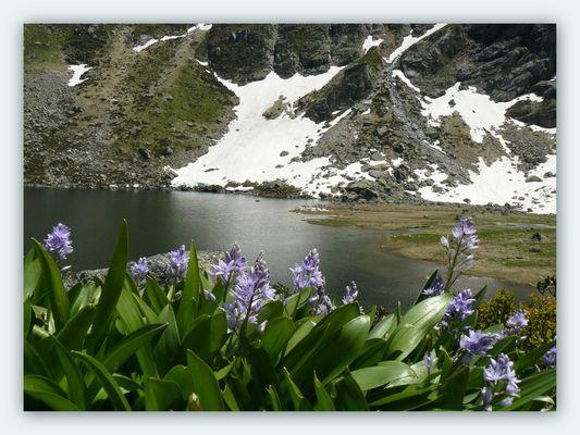 Jacinthe des Pyrénées ou Scille Lis-Jacinthe . ( Scillia Lilio-Hiacinthus )