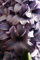 jacinto en flor
