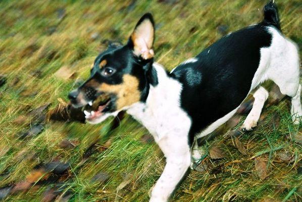 Jack auf der Flucht vor dem Fuchs