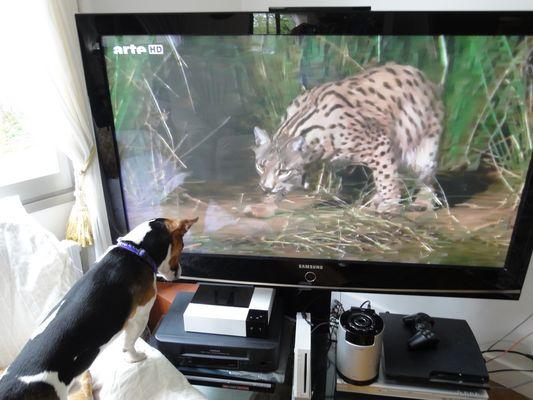 jack russel contre lynx