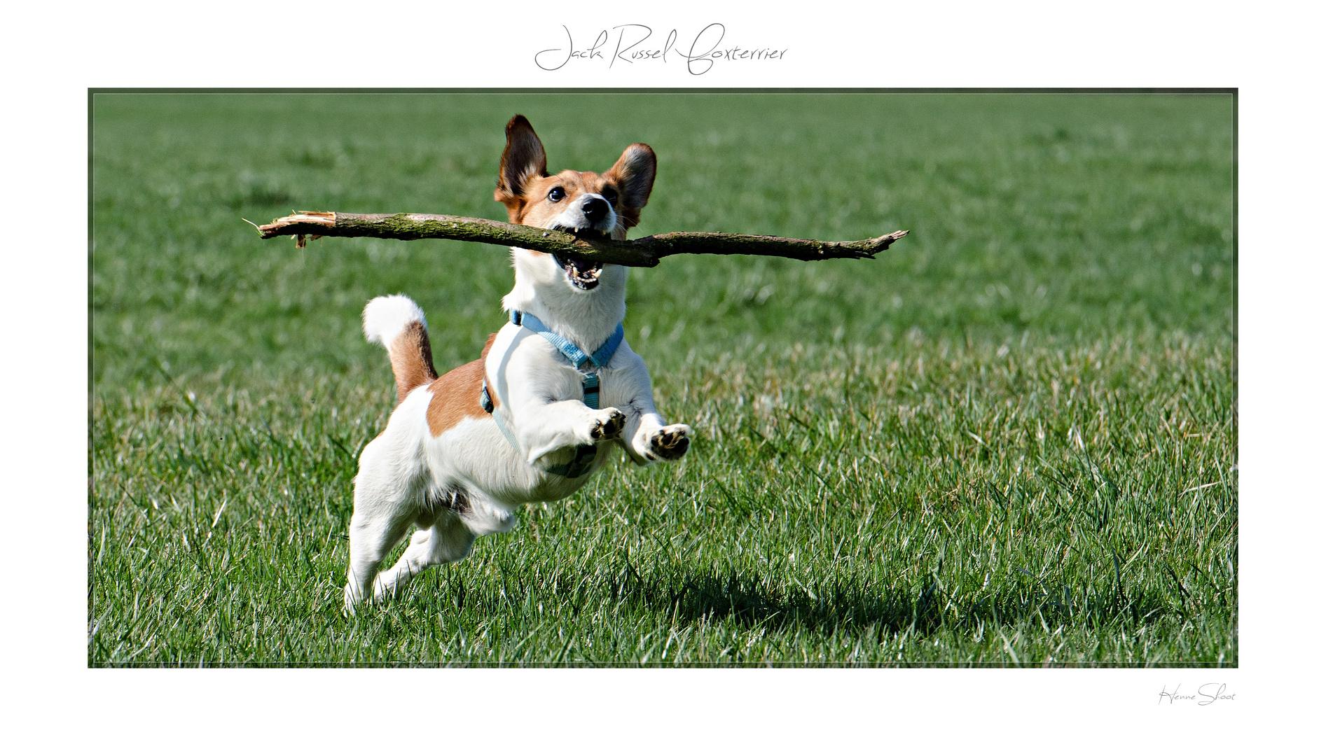 Jack Russel Foxterrier