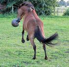 Jack-Russel-Pony