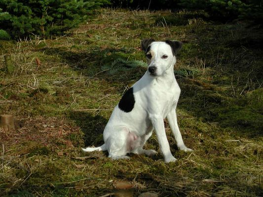 Jack-Russel Terrier
