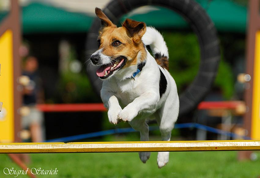 Jack Russell Terrier beim gestrigen Agility-Tournier