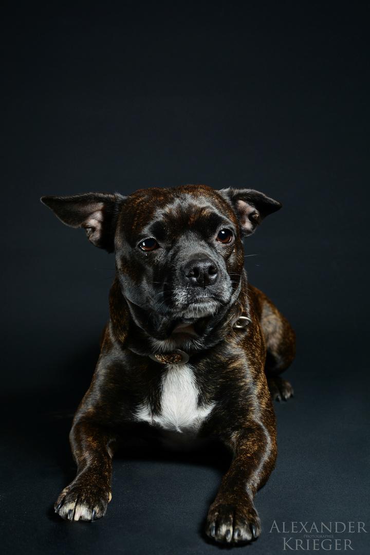Jackrussel-Französisch Bulldoggen Mix