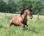 Jacky auf der Weide