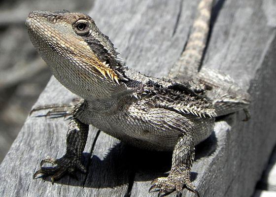 jacky lizard - WA