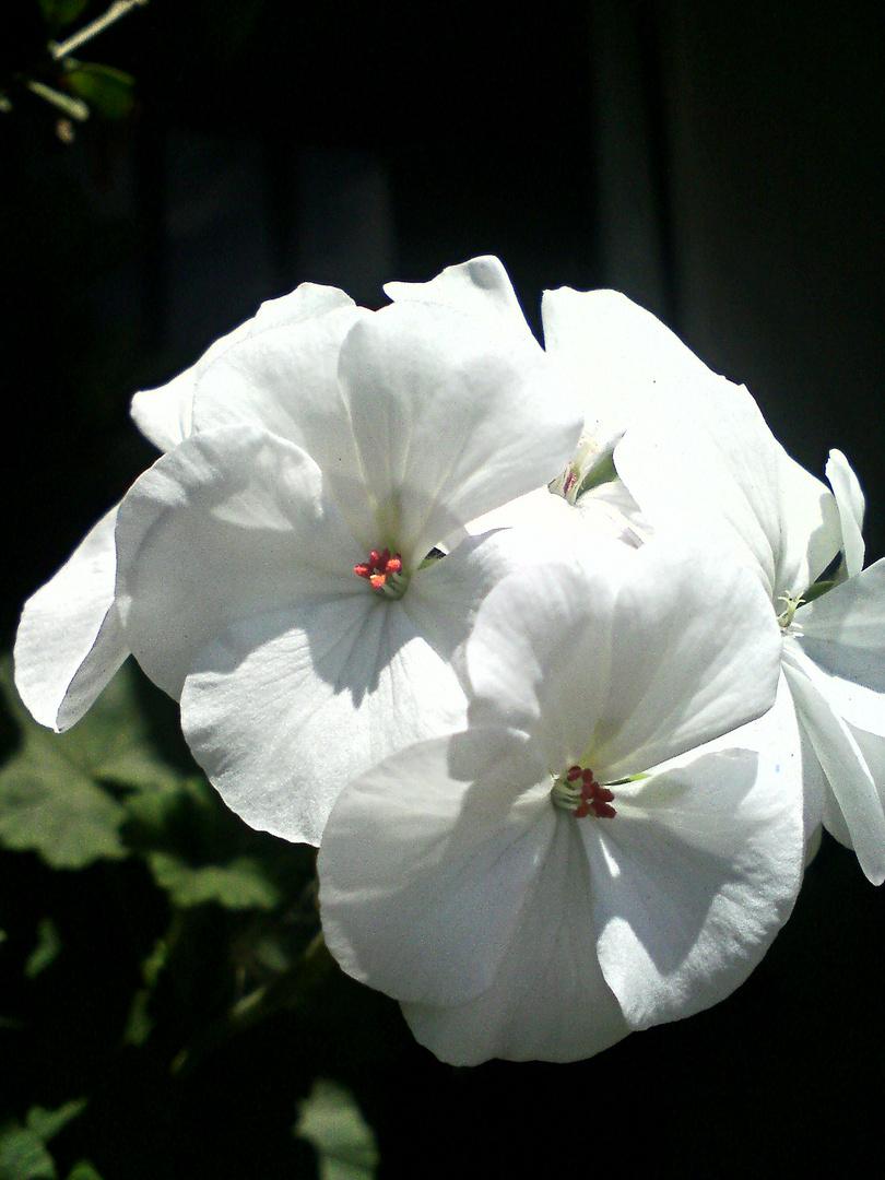 J'adore cette fleur qui est d'une si grande douceur....je dirais d'une si grande élégance!