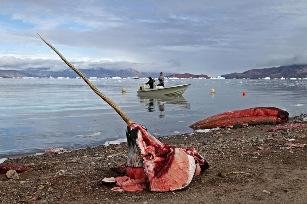 Jagd auf den Narwal