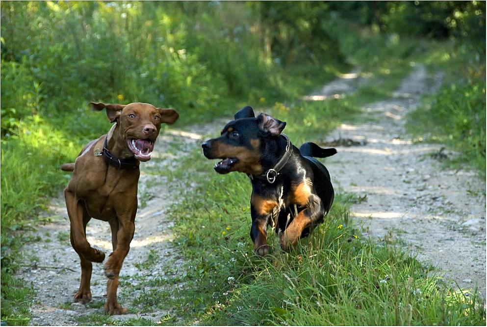 Jagd-Hunde
