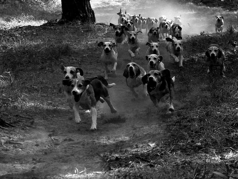 Jagd Obertshausen 25.09.2005 Hunde auf der Jagd