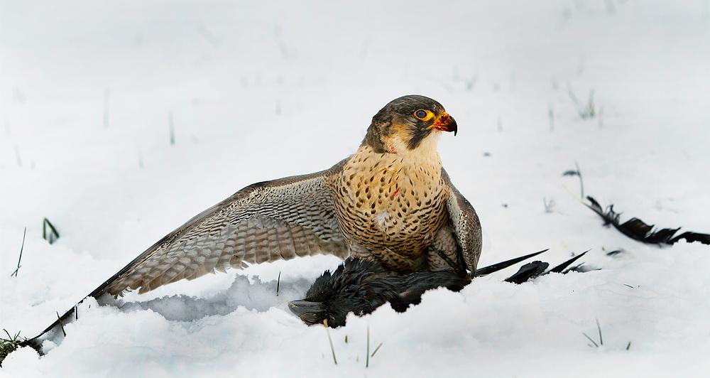 Jagderfolg im Schnee