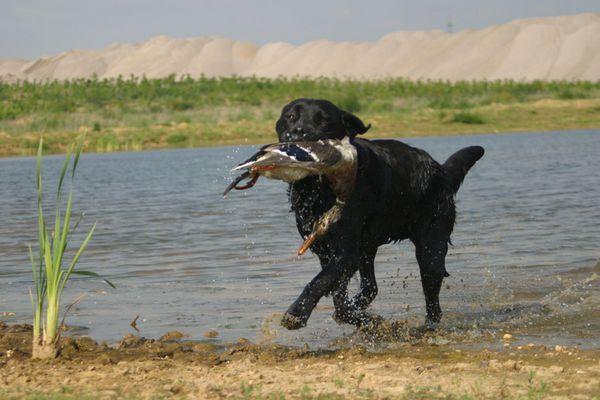 Jagdliches Training mit Ente
