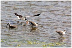 Jagdszenen in den Bolsa Chica Wetlands
