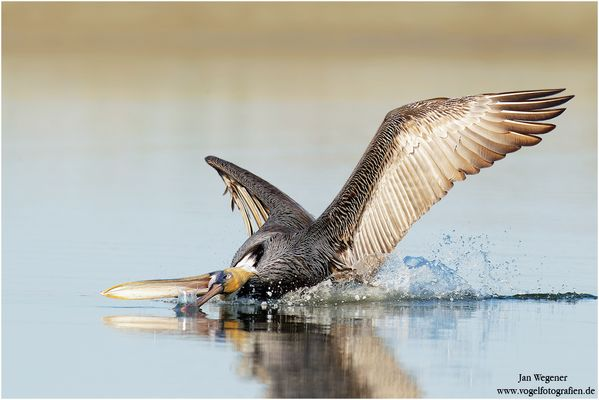 Jagender Brauner Pelikan