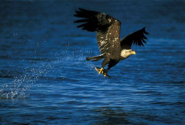 Jagender Weißkopfseeadler