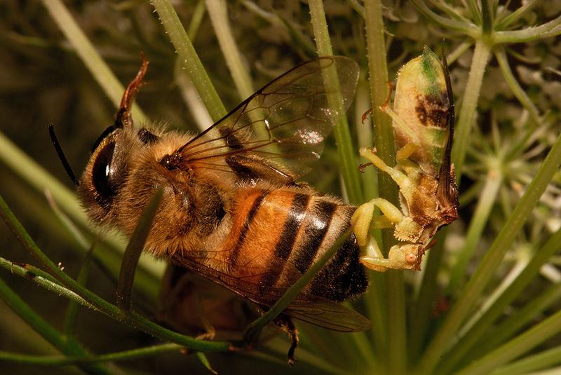 Jagged Ambush Bug