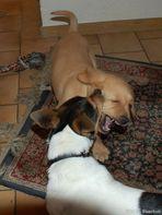 Jago und Rocky am toben