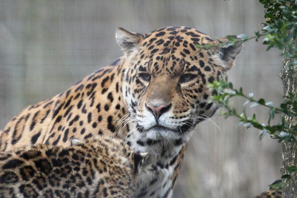 jaguar .