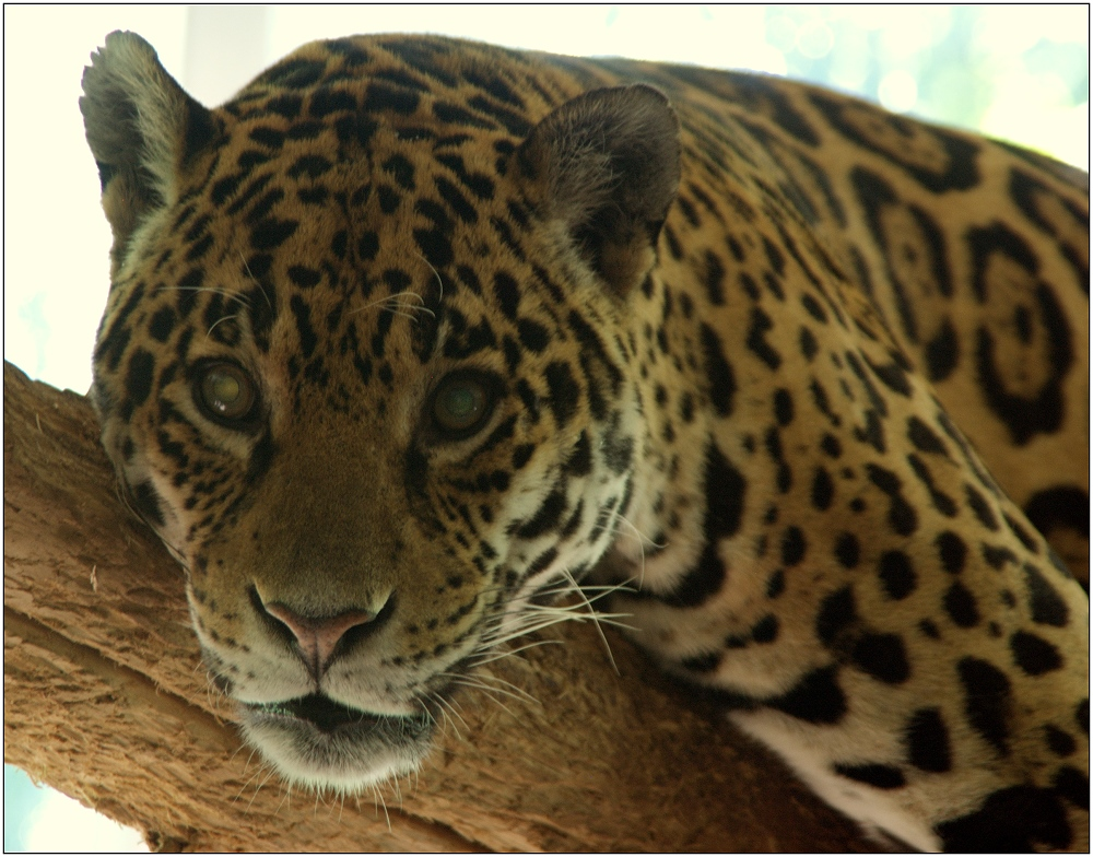 ... Jaguar ...
